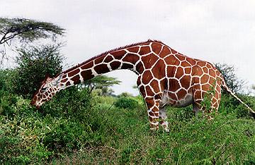 معلومات عن الزرافه giraf.jpeg
