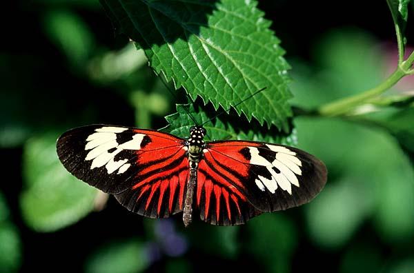 Heliconius Melpomene, Heliconius Butterflies